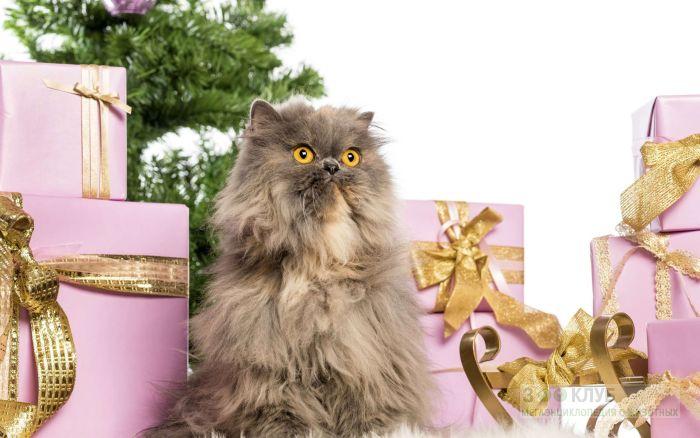 Персидская кошка и подарки, фото фотография картинка обои