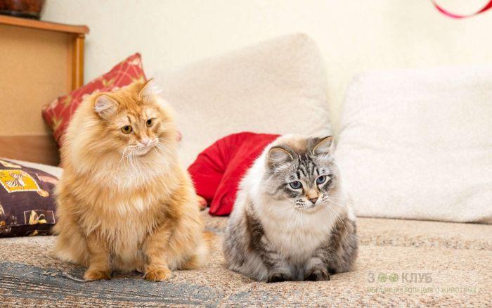 Сибирские кошки фото, фото фотография картинка обои