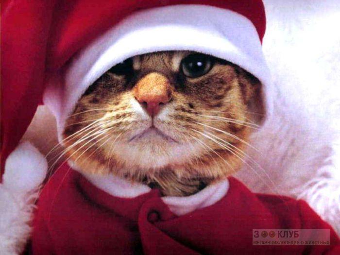 Кот - Санта Клаус, фото фотография картинка обои