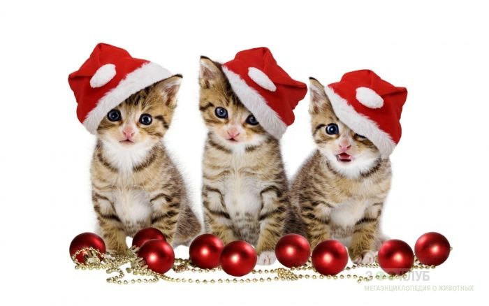 Три новогодних котенка, фото фотография картинка обои