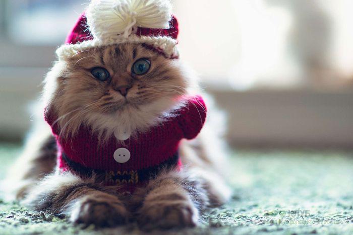 Персидская кошка в вязаном свитере, фото фотография картинка обои