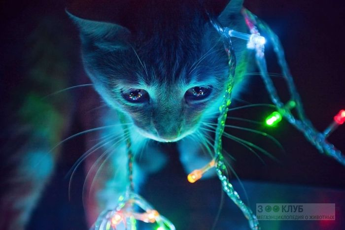 Кошка и новогодняя гирлянда, фото фотография картинка обои