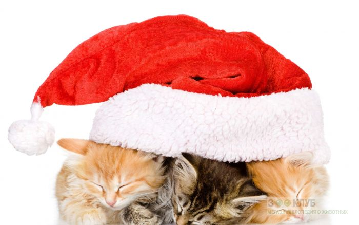 Три спящих котенка под рождественской шапкой, фото фотография картинка обои