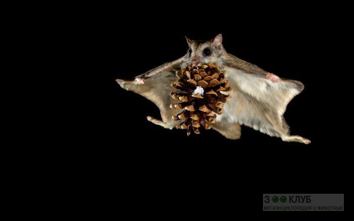 Белка-летяга (Pteromys volans), фото фотография картинка обои