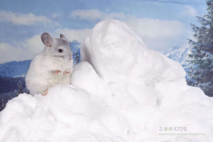 Шиншилла на снегу, фото фотография картинка обои