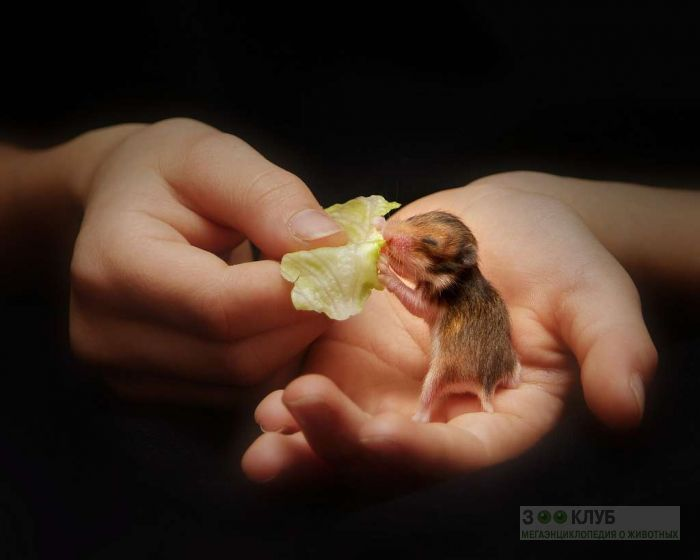 Детеныш золотистого хомячка, фото фотография картинка обои