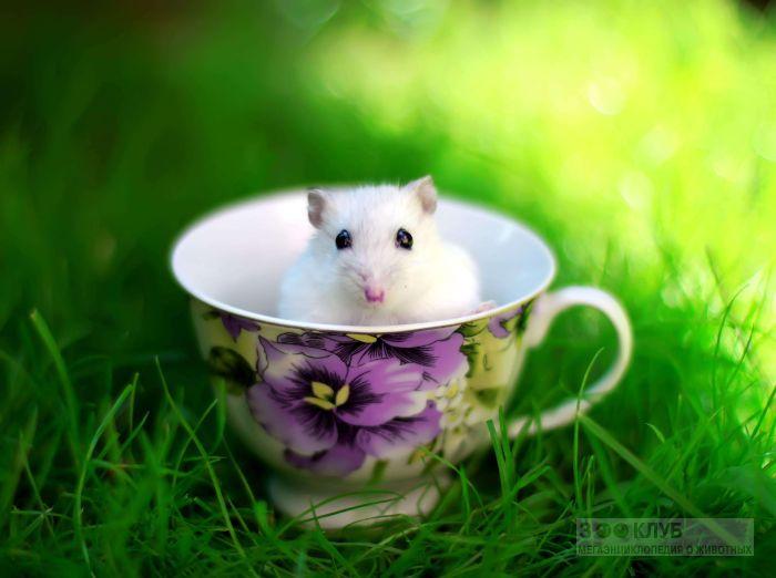 Джунгарский хомячок в кружке, фото фотография картинка обои