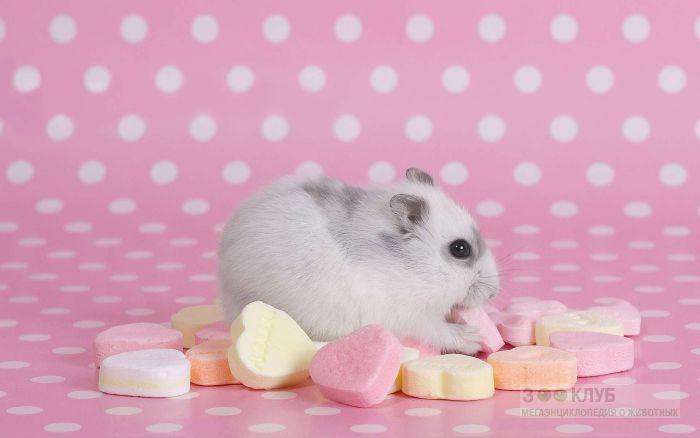 Джунгарский хомячок ест сладости, фото фотография картинка обои