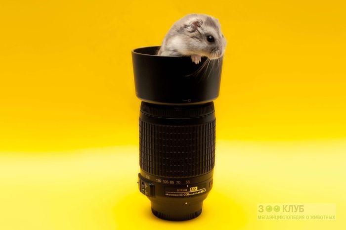Джунгарский хомячок и объектив, фото фотография картинка обои