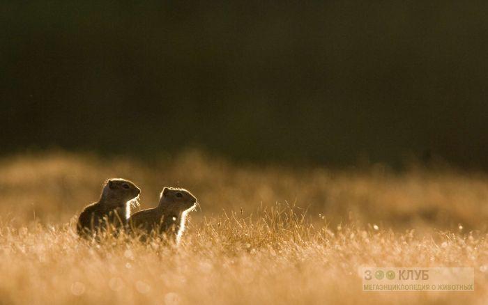 Луговые собачки в поле фото, фото фотография картинка обои