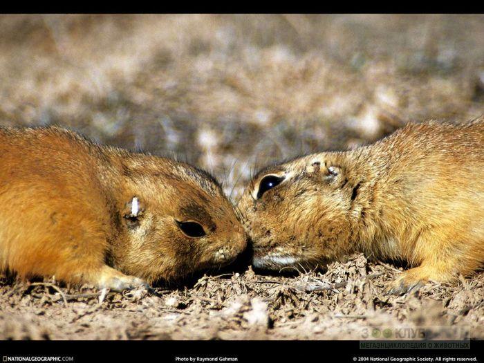 Процелуй луговых собачек, фото фотография картинка обои