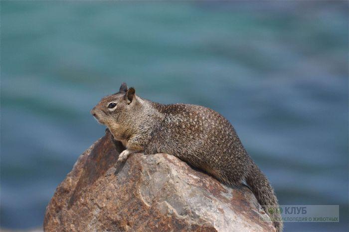 Калифорнийский суслик греется на камне, фото фотография картинка обои