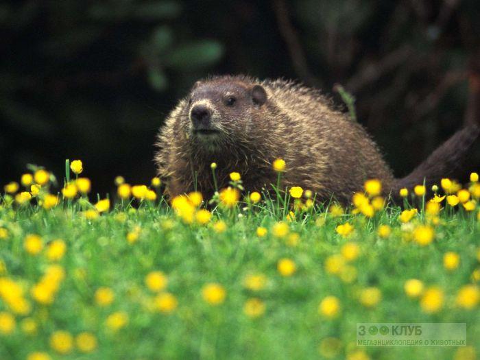 Олимпийский сурок (Marmota olympus) фото, фото фотография картинка обои