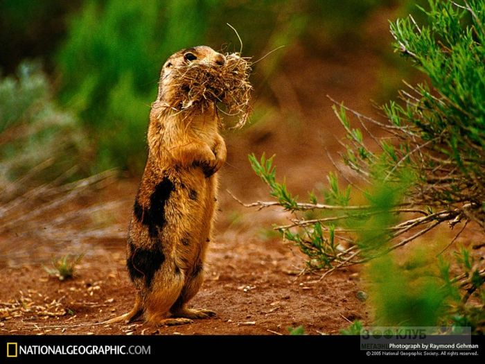 Аляскинский сурок (Marmota broweri), фото фотография картинка обои