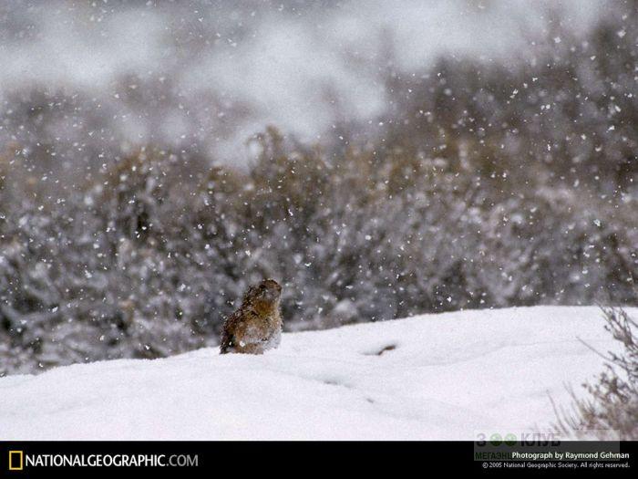 Аляскинский сурок, фото фотография картинка обои