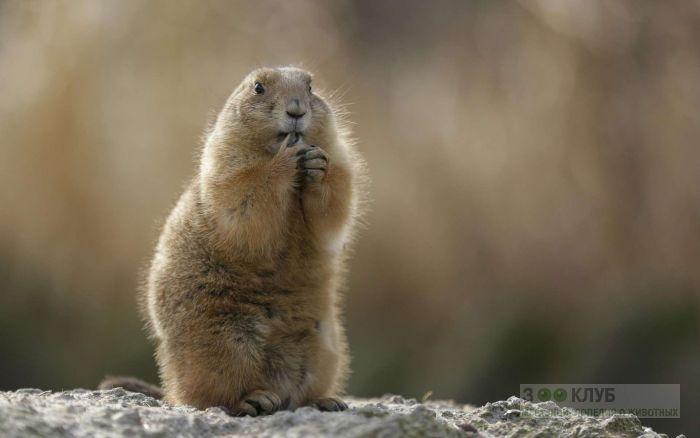 Красный сурок (Marmota caudata), фото фотография картинка обои
