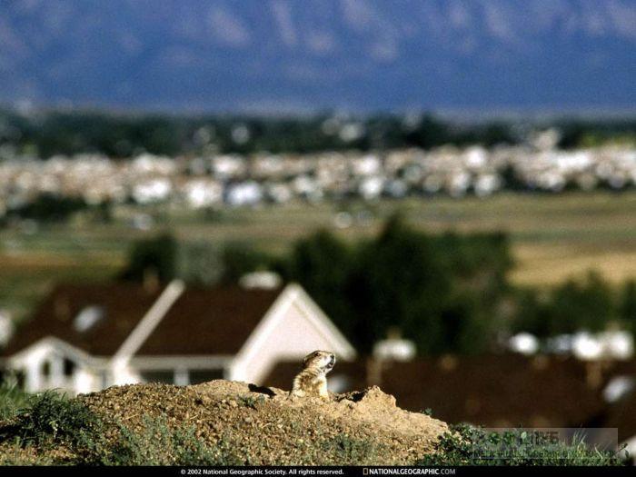 Сурок рядом с жильем человека, фото фотография картинка обои