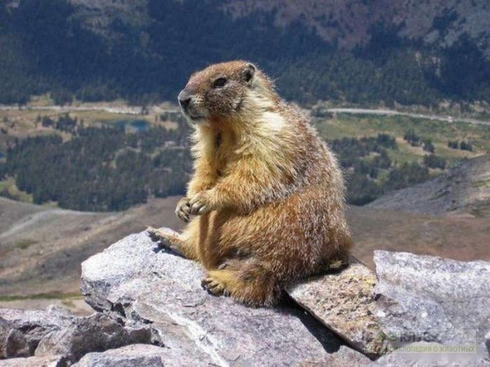 Желтобрюхий сурок (Marmota flaviventris), фото фотография картинка обои