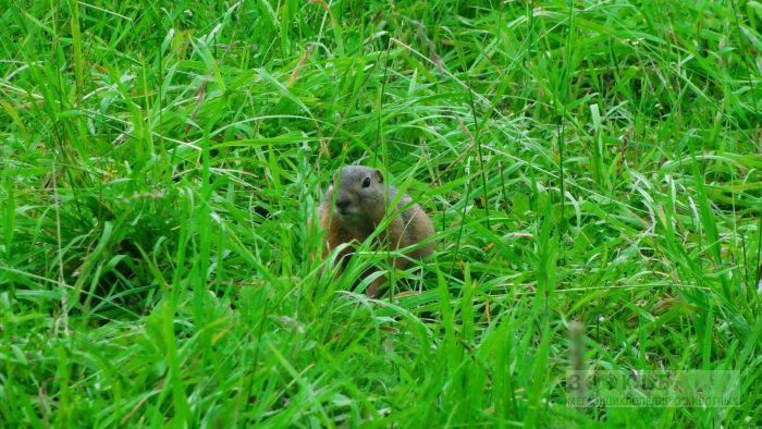 Желтобрюхий сурок прячется в траве картинка, фото фотография картинка обои