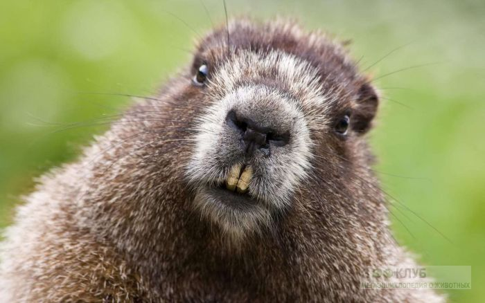 Альпийский сурок (Marmota marmota), фото фотография картинка обои