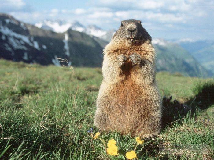 Альпийский сурок, фото фотография картинка обои