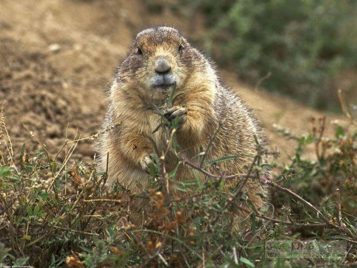 Сурок лесной (Marmota monax), фото фотография картинка обои