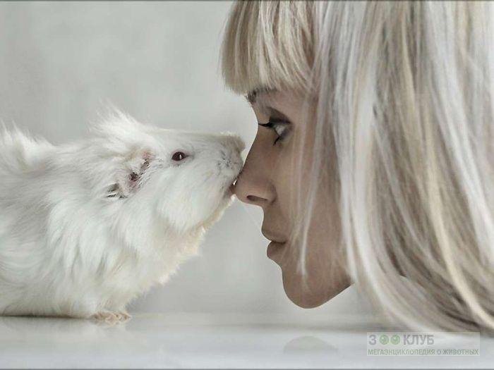 Морская свинка и девушка, фото фотография картинка обои