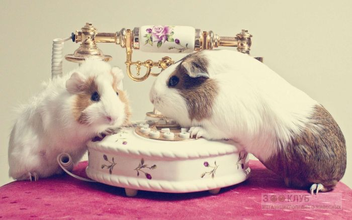 Морские свинки и телефон, фото фотография картинка обои
