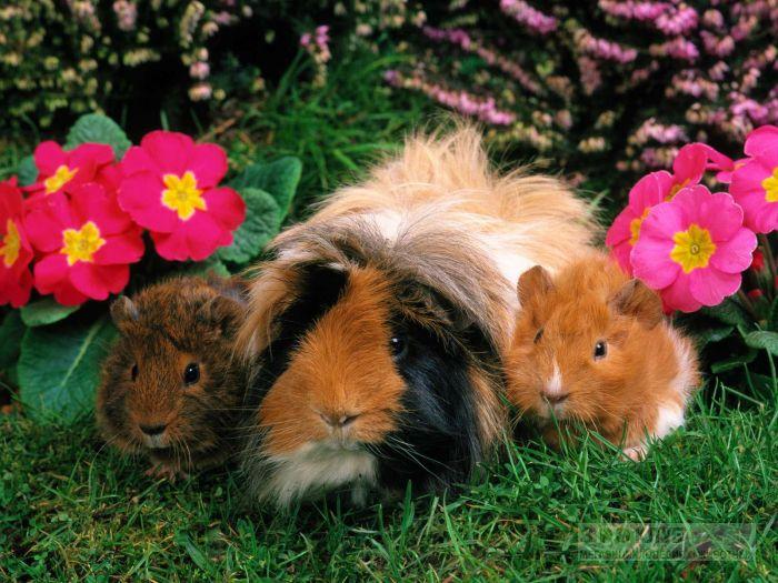 Морские свинки на траве, фото фотография картинка обои