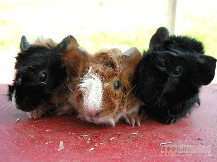 Абиссинские, или розеточные морские свинки, фото фотография картинка обои