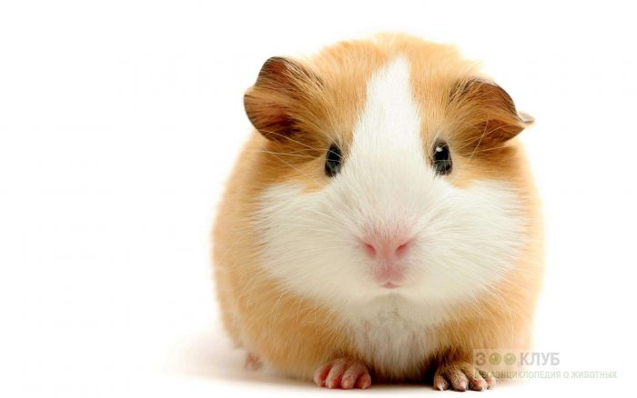 Симпатичная морская свинка, фото фотография картинка обои