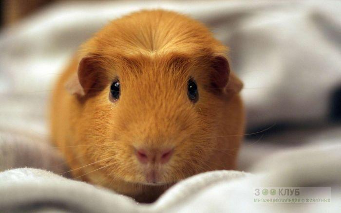 Мимишная морская свинка крестед, фото фотография картинка обои