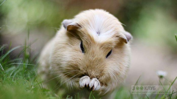 Морская свинка крестед в траве, фото фотография картинка обои