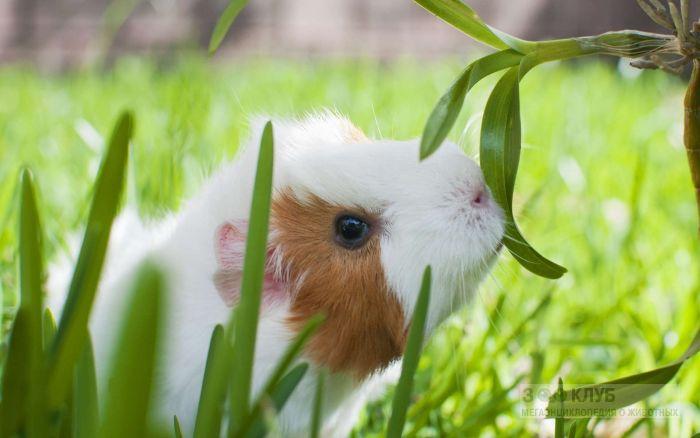 Морская свинка риджбек в траве, фото фотография картинка обои