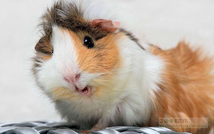Забавная морская свинка риджбек фото, фото фотография картинка обои