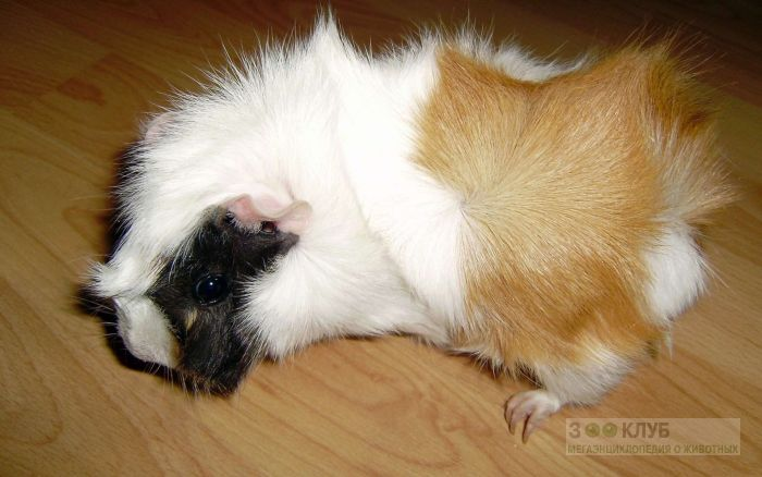 Розеточная морская свинка, фото фотография картинка обои