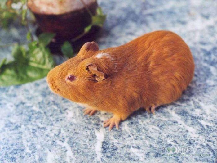 Рыжая морская свинка фото, фото фотография картинка обои