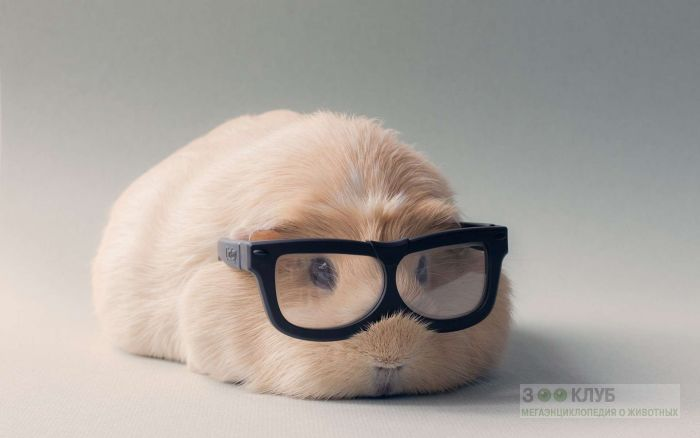 Морская свинка в очках, фото фотография картинка обои