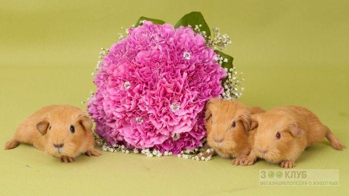 Морские свинки английский селф, фото фотография картинка обои
