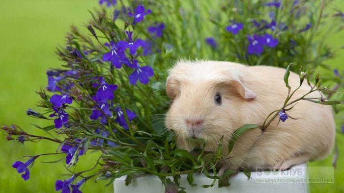 Морская свинка и синие цветы, фото фотография картинка обои