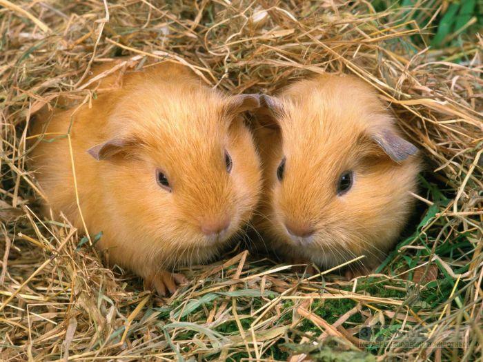 Морские свинки селф, фото фотография картинка обои