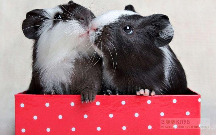 Морские черно-белые свинки, фото фотография картинка обои