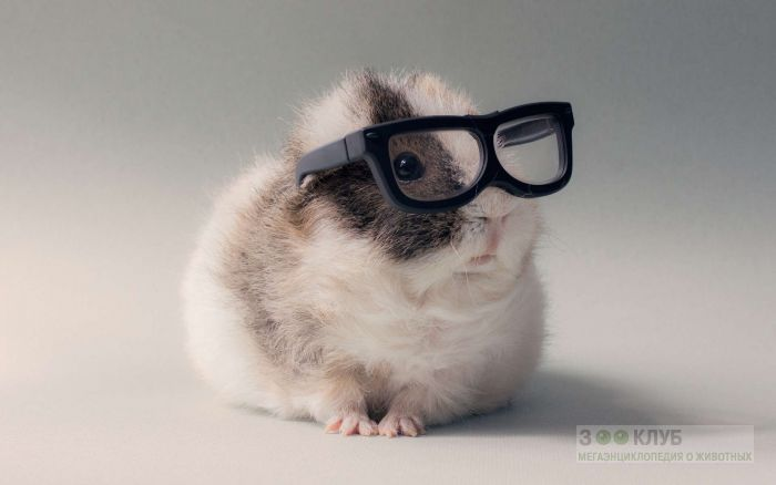 Морская свинка тексель в очках, фото фотография картинка обои
