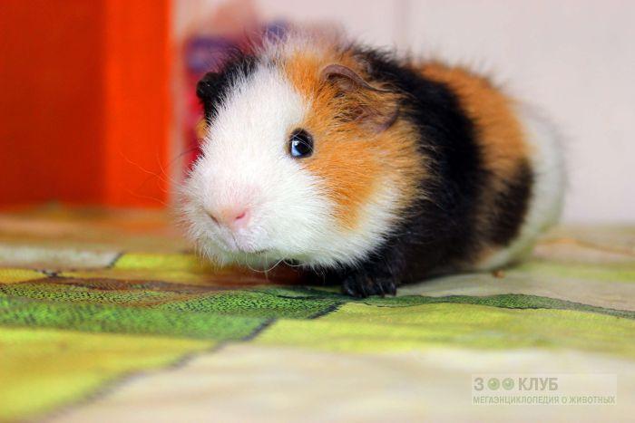 Морская свинка тэдди, фото фотография картинка обои