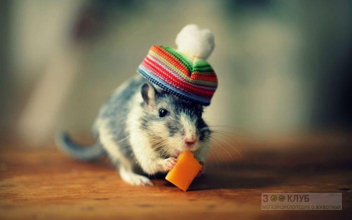 Крысенок в шапочке, фото фотография картинка обои