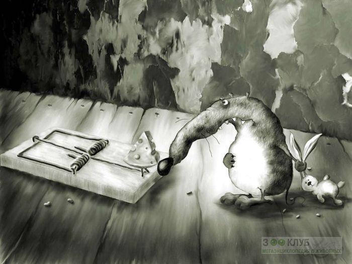 Крыса около мышеловки рисунок, фото фотография картинка обои