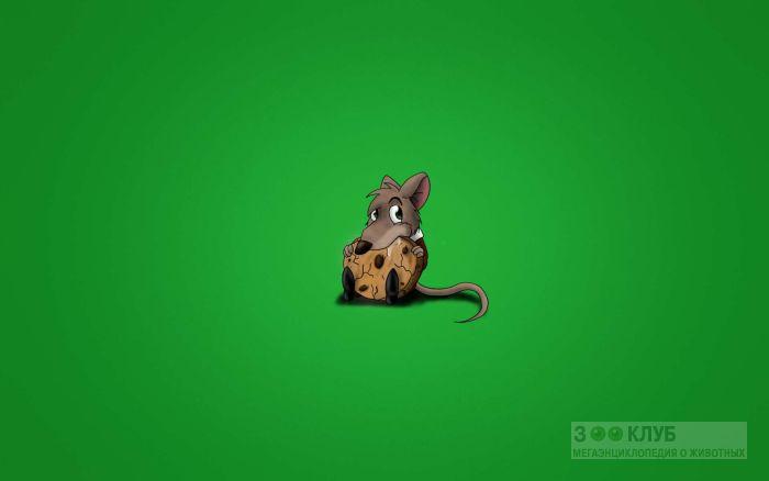 Крысенок грызет печеньку, рисунок картинка обои