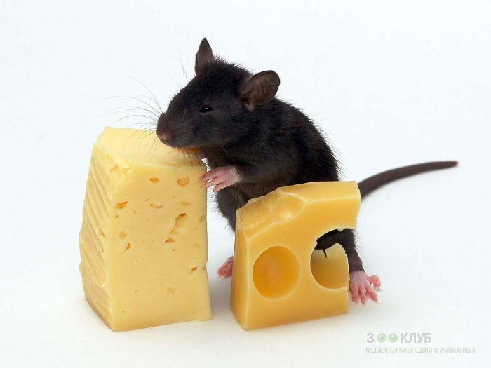 Черный крысенок и сыр, фото фотография картинка обои
