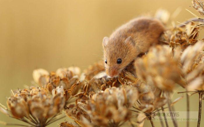 Мышь-малютка, фото фотография картинка обои