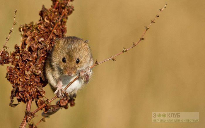Мышь-малютка на травинке, фото фотография картинка обои